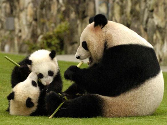 Panda Gigante: animal essencialmente vegetariano e muito brincalhão