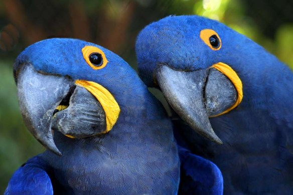 Arara Azul: animais dóceis