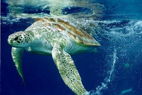 Tartaruga Marinha: criticamente em perigo!