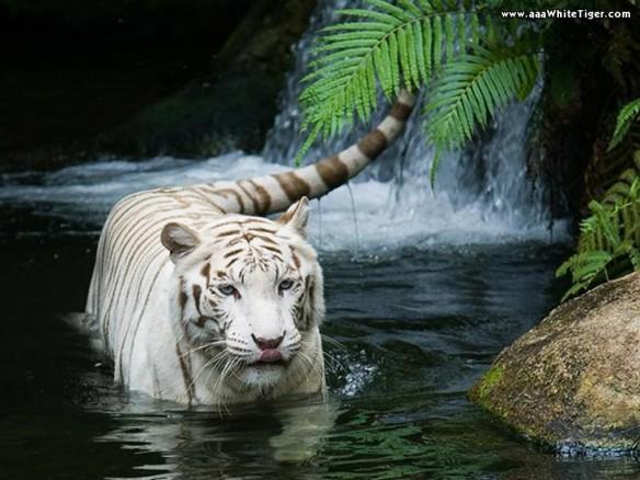 Tigre Branco: reproduçao durante todo o ano