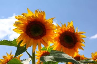 O girassol é flor raçuda, que enfrenta até a mais violenta intempérie e acaba sobrevivendo.
